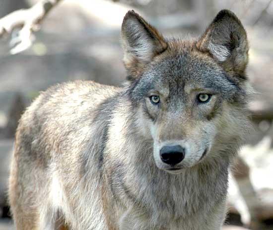Il nostro lupo, tra mito e realtà