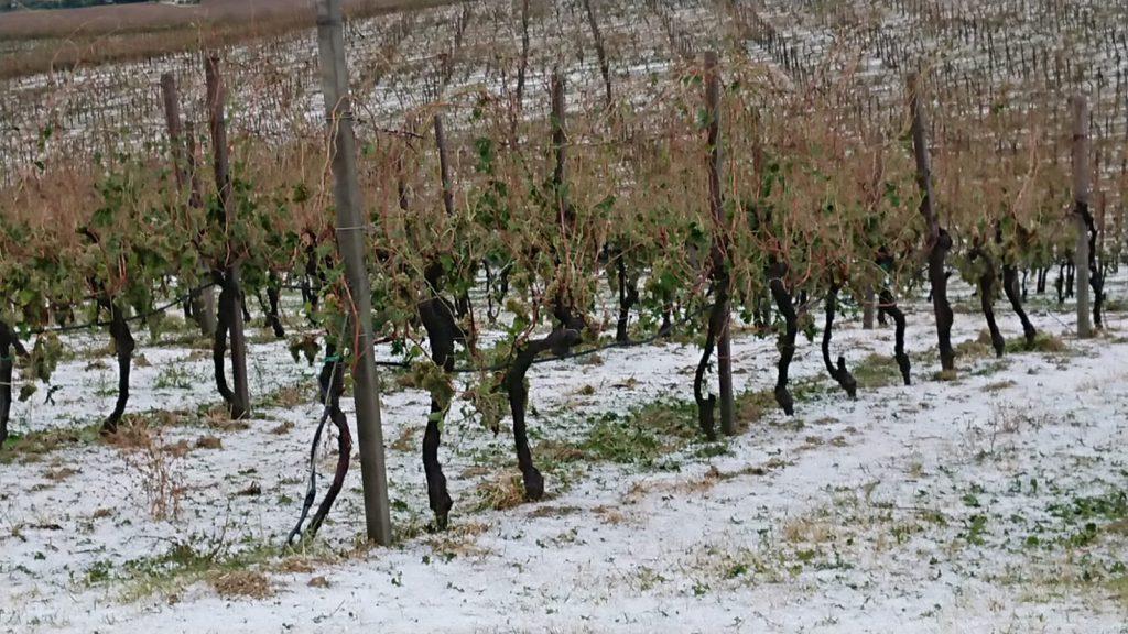 Coldiretti, sos campagne: la grandine distrugge vigneti e oliveti